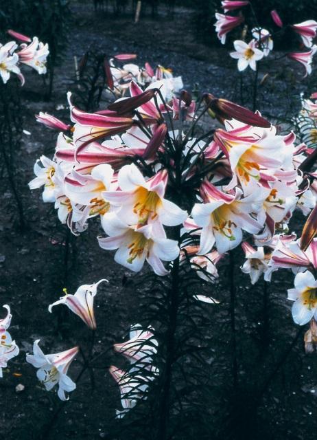 Lilium regale AGM