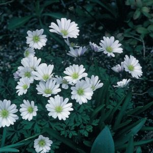 Anemone blanda White Splendour AGM