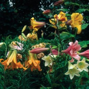 Fragrant Trumpet Lily Collection