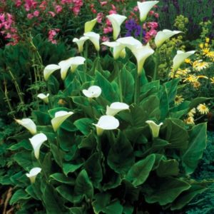 Zantedeschia aethiopica AGM