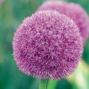 Allium giganteum AGM