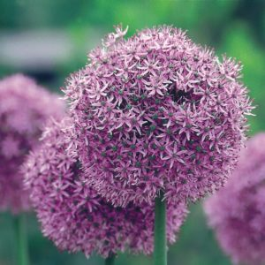 Allium Gladiator AGM