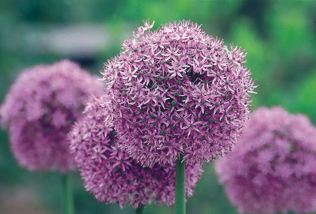 Allium Gladiator AGM