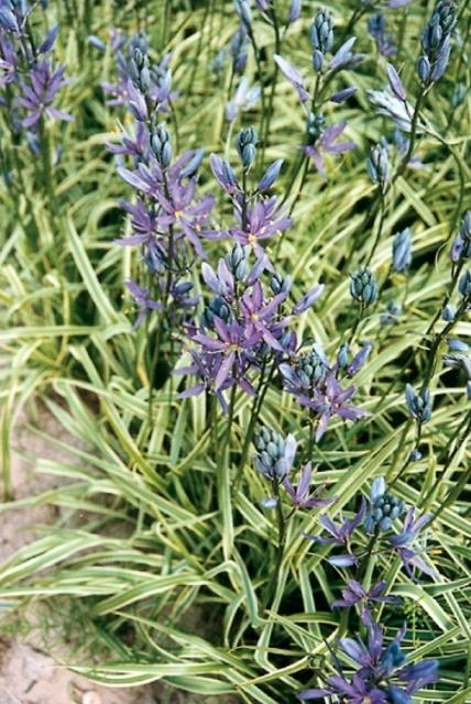 Camassia quamash Blue Melody