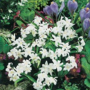 Chionodoxa luciliae alba