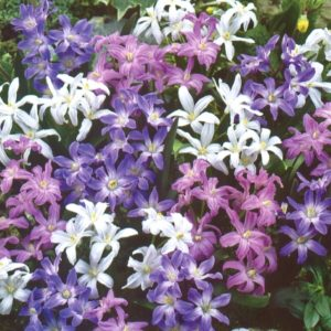 Chionodoxa super mix