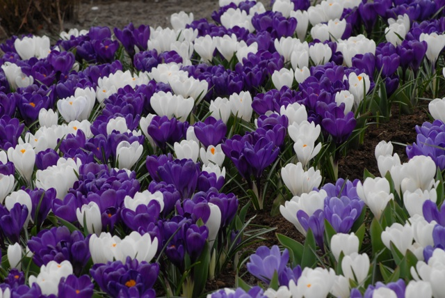Crocus Flower Record & Joan of Arc Collection - 100 bulbs