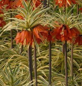 Fritillaria imperialis Argenteovariegata