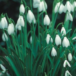 Galanthus nivalis (Single Snowdrops) In the Green AGM
