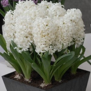 Hyacinth Prepared Aiolos