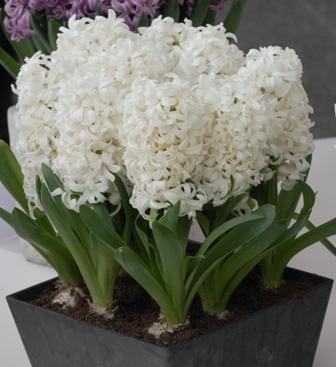 Hyacinth Prepared Aiolos
