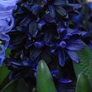 Hyacinth Outdoor Dark Dimension