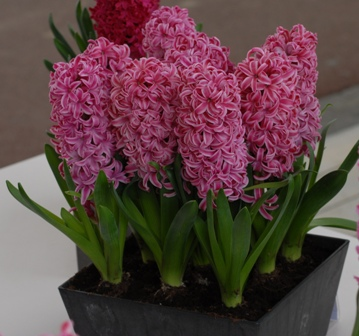 Prepared Hyacinth Collection