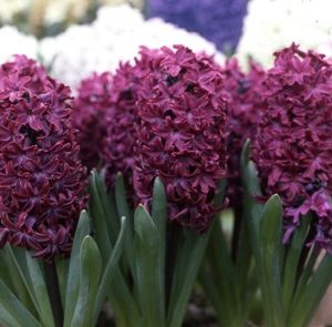 Hyacinth Prepared Woodstock