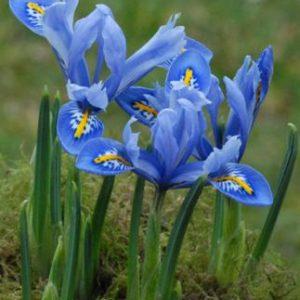 Iris Dwarf Alida