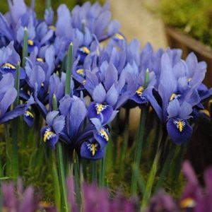 Iris Dwarf Harmony