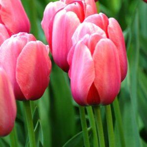 Tulip Darwin Hybrid Pink Impression AGM