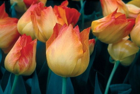 Tulip Dwarf Early Easter Surprise AGM