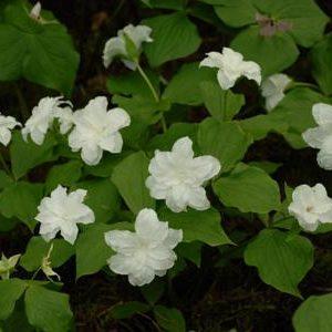Trillium grandiflorum Flore Pleno