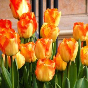 Tulip Darwin Hybrid American Dream
