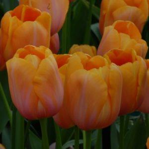 Tulip Single Late Dordogne AGM