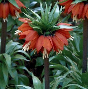 Fritillaria imperialis William Rex