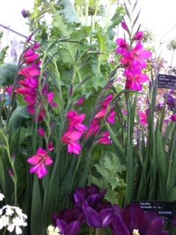 Gladiolus communis ssp. byzantinus AGM