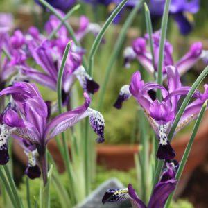 Iris Dwarf Spot On