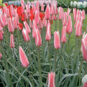 Tulip Specie Lady Jane AGM