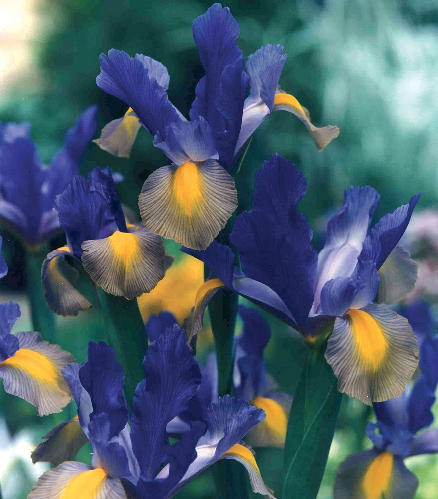 Iris Dutch Mystic Beauty