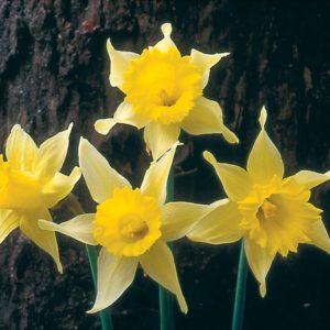 Narcissi Division 10 Species pseudonarcissus Lobularis