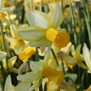 Narcissi Division 6 Cyclamineus Mother Duck