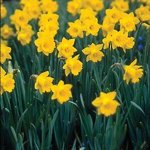 Narcissi Division 10 Species obvallaris AGM