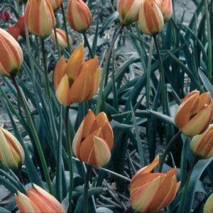 Tulip Specie whittallii AGM