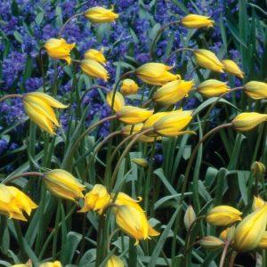 Tulip Specie sylvestris