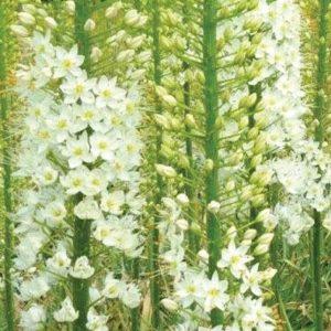 Eremurus White Sensation