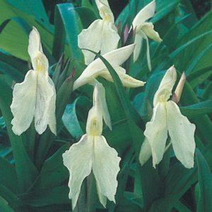 Roscoea Beesiana alba