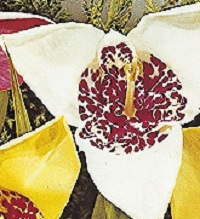 Tigridia pavonia Alba Grandiflora
