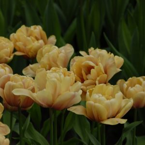 Tulip Double Early La Belle Epoque