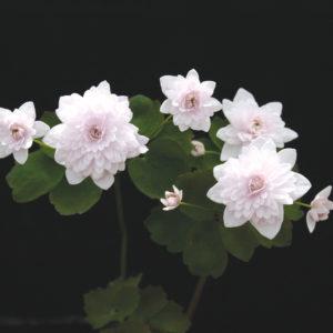 Anemonella thalictroides Cameo