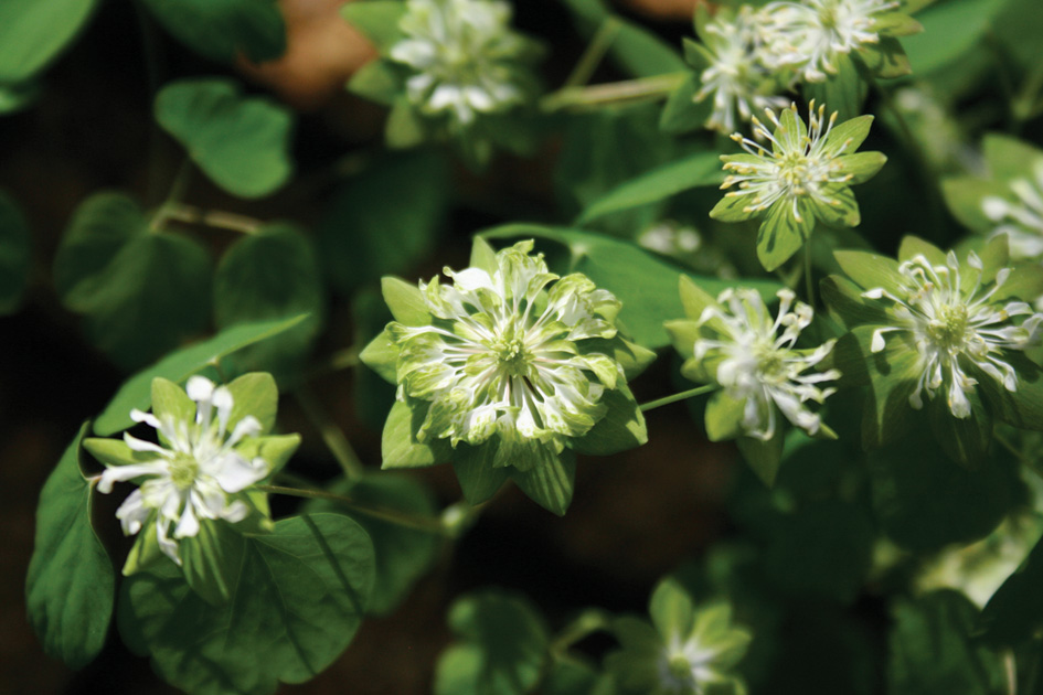 Anemonella thalictroides Green Hurricane