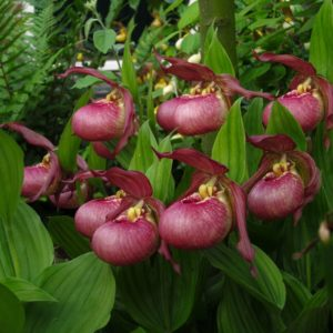 Cypripedium Kentucky Pink