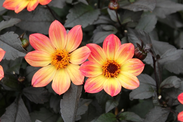 Bees and Butterflies Dahlia Collection