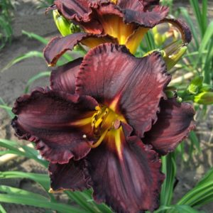 Hemerocallis Black Stockings
