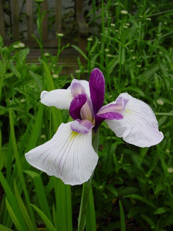 Iris Ensata Fortune