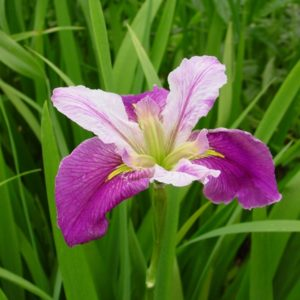 Iris Louisiana Colourific