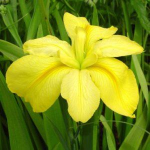 Iris Louisiana Laura Louise