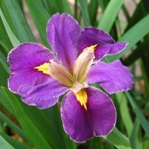 Iris Louisiana Spicy Cajun