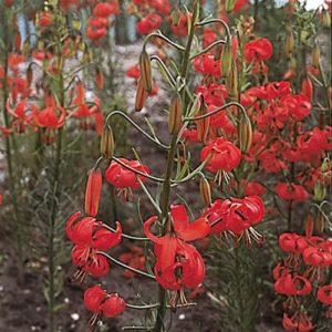 Lilium pumilum AGM