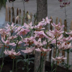 Lilium Pink Morning